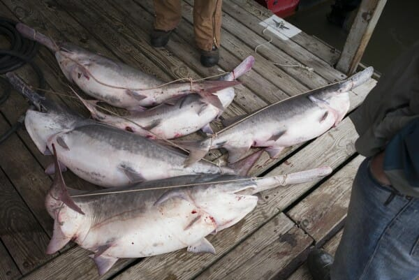 Paddlefish await to be weighed at the Spoonbill tournament at the Oar House. The winning fish this year was 64.2 lbs.