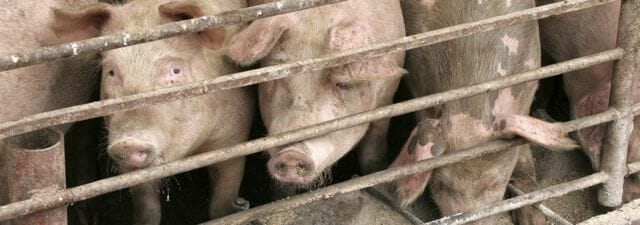 Pigs are often fed ractopamine up until slaughter to promote growth.