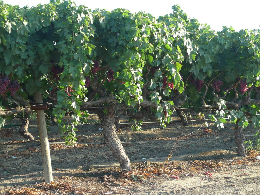 Grape fields near Delano, California.