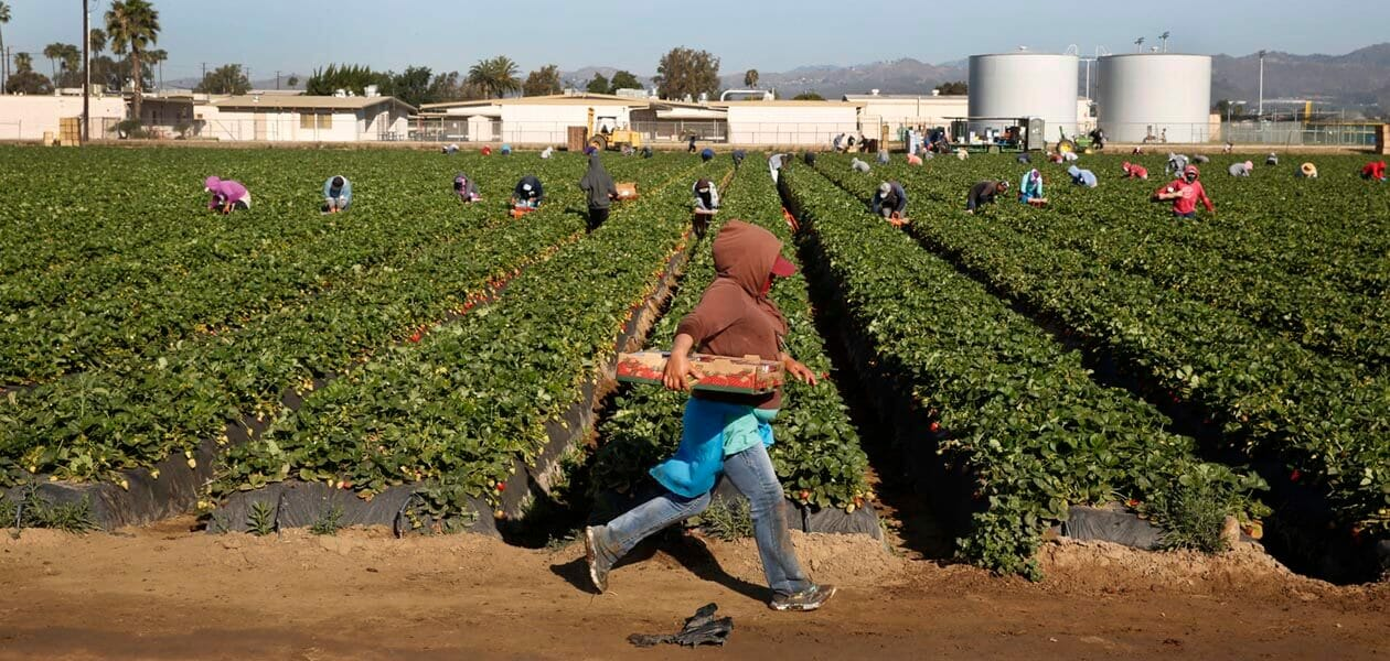 Workers in the strawberry fields of Oxnard, California.